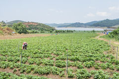 农夫收获草莓 免版税库存图片