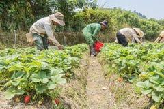 农夫收获草莓 库存图片