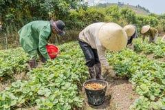 农夫收获草莓 免版税库存照片