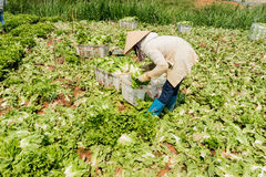农夫收获莴苣 库存图片