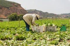 农夫收获莴苣 免版税库存图片