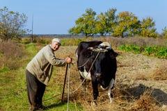 农夫根据古老传统养殖并且威胁他的母牛本质上 交配动物者每天早晨感觉有 库存照片