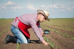 农夫检查玉米 免版税图库摄影
