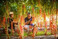 农夫检查西红柿植物的两个人自温室 库存图片