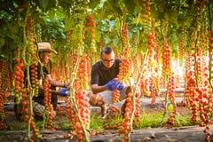 农夫检查西红柿植物的两个人自温室 免版税库存照片