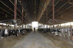 农夫母牛 库存照片