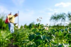 农夫洒土豆与喷雾器,行土豆开花 库存图片