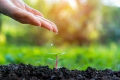 农夫滴下的水的手在自然公园的年轻绿色植物中为减少全球性变暖地球 免版税库存图片