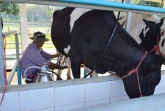 农夫牛奶一头母牛在奶牛场在泰国 库存照片