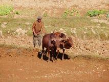 农夫犁他的与封牛母牛,马达加斯加,非洲的干燥领域 免版税库存照片