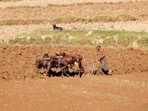 农夫犁他的与封牛母牛,马达加斯加,非洲的干燥领域 库存图片