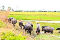 农夫环绕水牛牧群 图库摄影