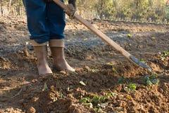 农夫用小锄头草莓床  库存照片