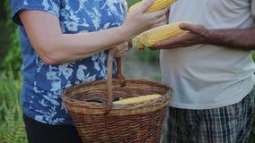 农夫的手的特写镜头收获一片小庄稼 一个人拿着玉米几个头,妇女采取一逃亡 影视素材