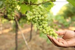 农夫的手9月检查的和收集在印度maharastra纳西克的选择的葡萄束巨大收获生物骗局的 库存图片