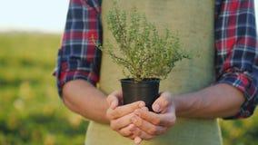 农夫的男性手拿着一个罐麝香草植物 生长香料 免版税图库摄影