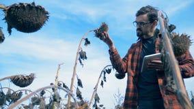 农夫看向日葵,走在与干庄稼的一个领域 概念全球性变暖 股票录像