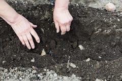 农夫种植在犁沟的繁殖土豆 免版税库存图片