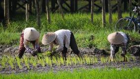 农夫种植米 影视素材