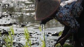 农夫种植米 股票视频