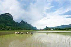 农夫移植在Bac儿子的米 免版税库存图片