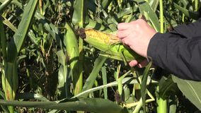 农夫精选大棒子在麦地在秋天时间 4K 股票视频