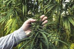农夫考试工业用大麻 库存图片
