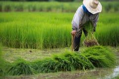 农夫被栓的稻幼木。 免版税库存图片