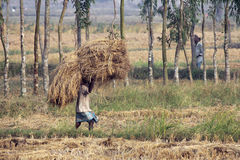 农夫运载从农厂家的米 库存照片