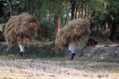 农夫运载从农厂家的米 免版税库存照片