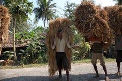 农夫运载从农厂家的米 免版税图库摄影