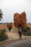 农夫运载从农厂家的米 免版税库存图片