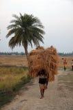 农夫运载从农厂家的米 图库摄影