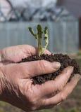 农夫递拿着小年轻草本新芽植物 免版税库存图片