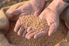 农夫递老麦子 免版税库存图片