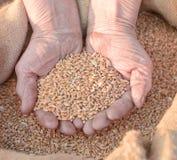 农夫递老麦子 免版税图库摄影