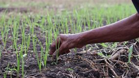 农夫采取草在大蒜剧情外面 影视素材