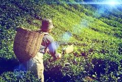 农夫采摘茶叶土产文化概念 免版税库存图片