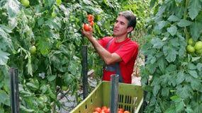 农夫采摘蕃茄 免版税库存图片