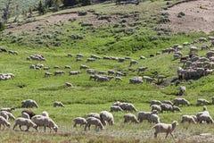 农夫绵羊牧群在山草甸 免版税库存图片