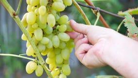 农夫` s手切开成熟白葡萄臀部  影视素材