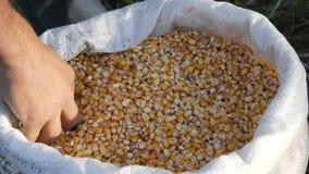 农夫` s手接触玉米收获A袋子黄色谷核 庄稼看法的被收获的玉米关闭 影视素材