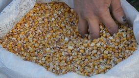 农夫` s手接触玉米收获A袋子黄色谷核 庄稼看法的被收获的玉米关闭 股票视频