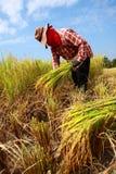 农夫havesting的米 免版税库存图片