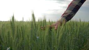 农工联合企业,男性手接触绿色植物关闭,走在领域的大麦庄稼中的农夫人在背景  股票录像