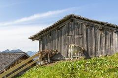 农村场面在阿尔卑斯,在阿尔卑斯,奥地利的母牛 免版税库存图片