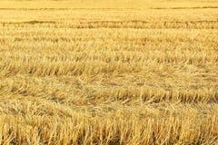 农村夏天风景自然,米的黄色领域,农业领域农夫种植谷物的地方 免版税库存照片