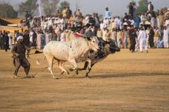 农村巴基斯坦、兴奋和壮观公牛赛跑 图库摄影
