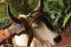 农村母牛在哥斯达黎加 免版税库存照片
