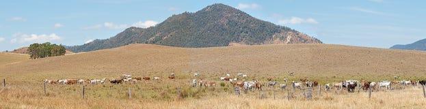 农村澳大利亚全景风景牛国家 免版税库存图片